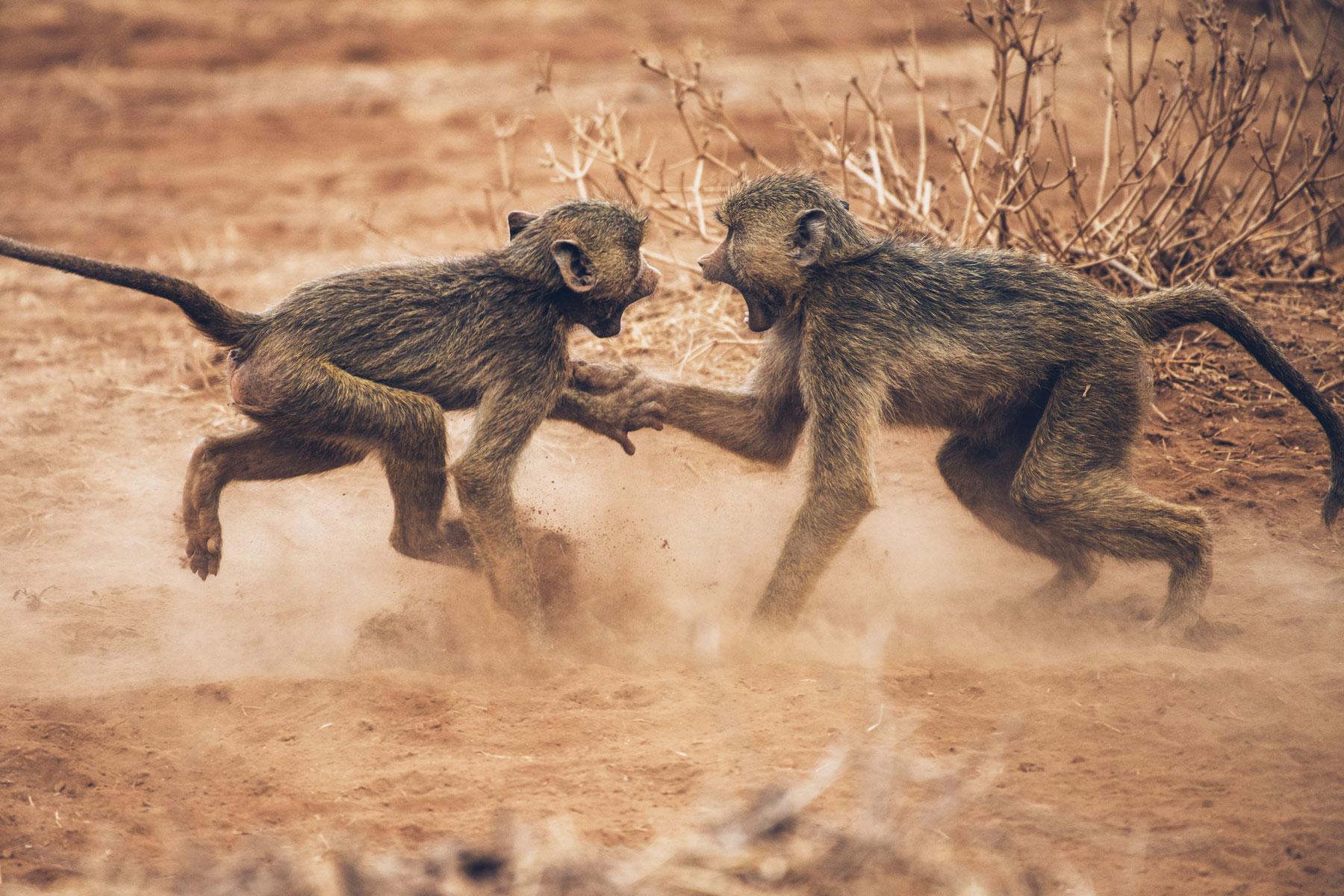 Babouins Jaunes, Kenya