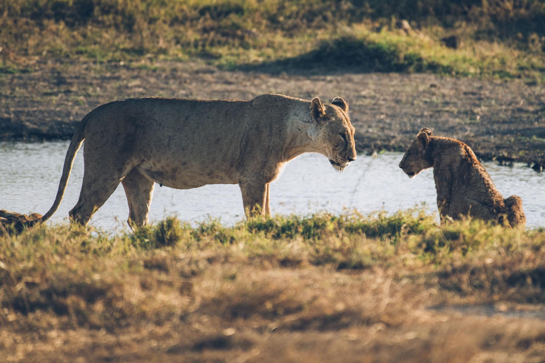 Lions, Parc National Amboseli, Kenya