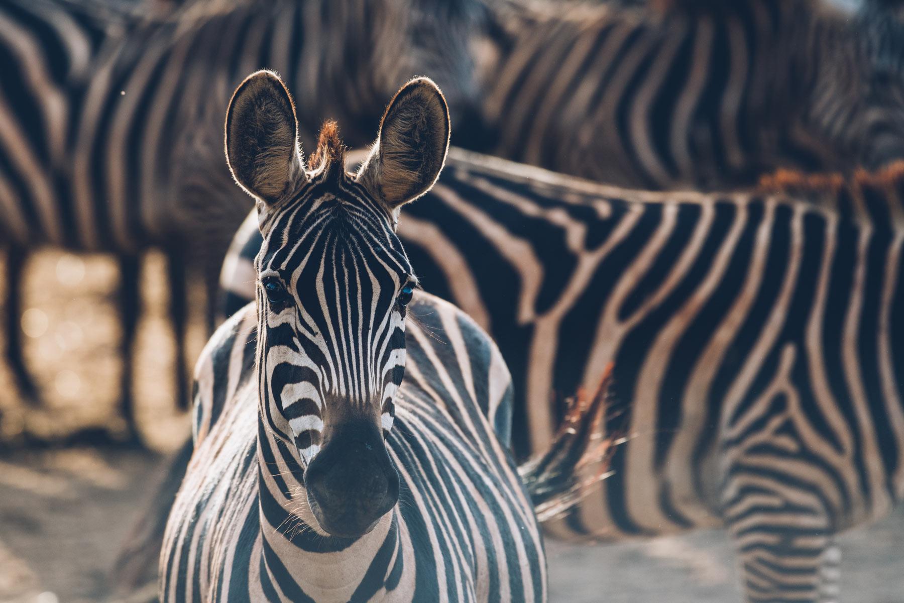 Zebres, Kenya