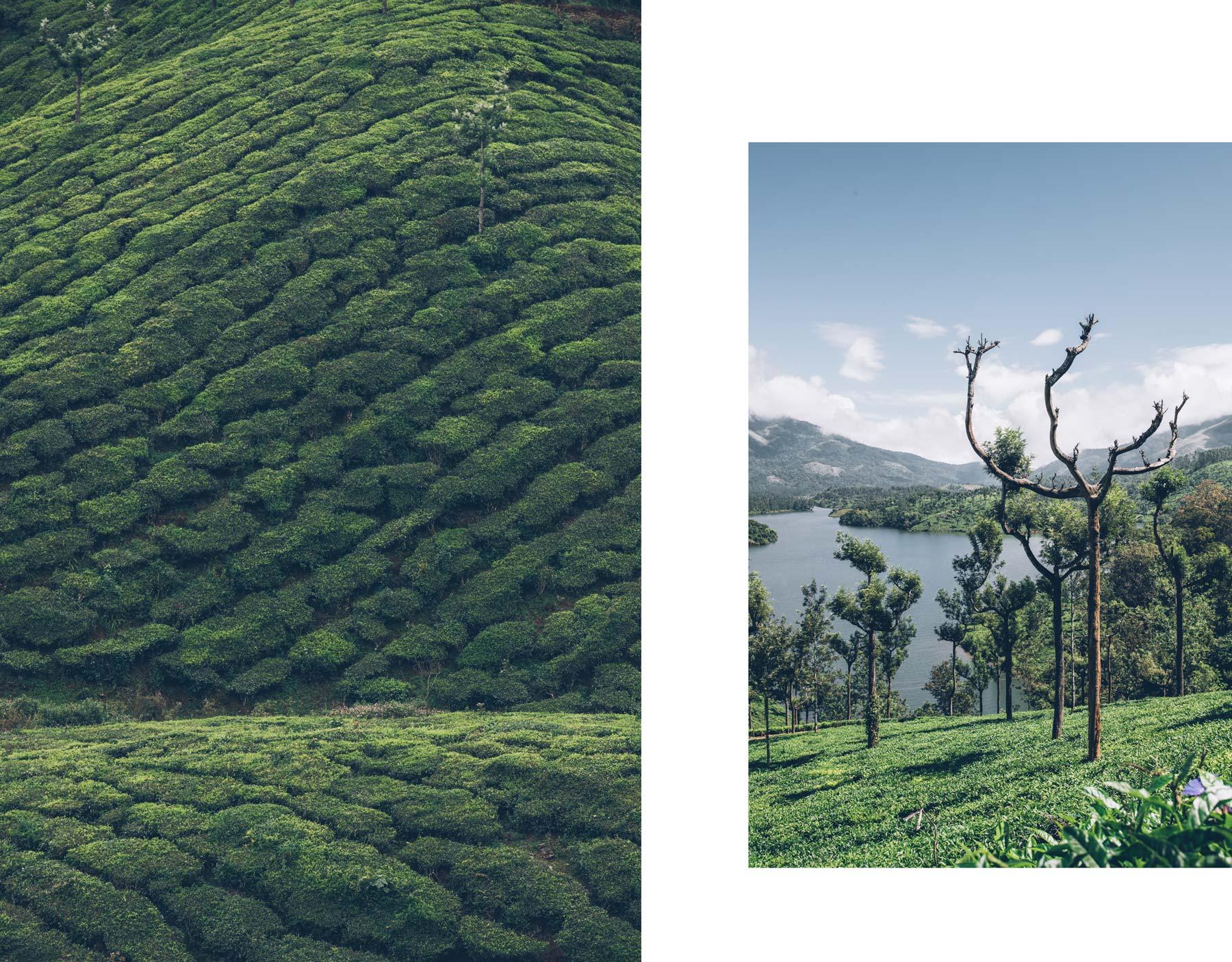 Munnar, plantation de thé