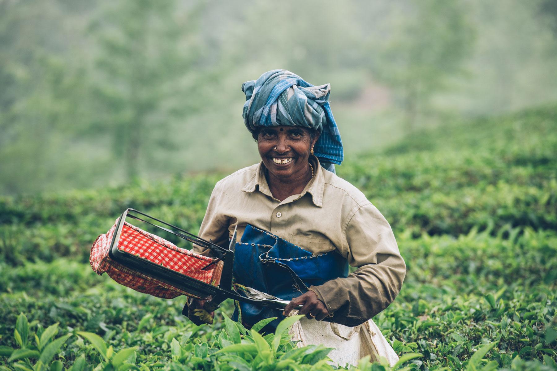 Munnar, Inde, Plantations de thé