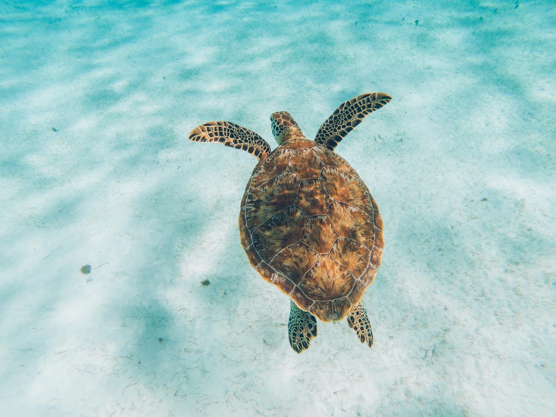 Pour voir les Tortues dans les Grenadines: Tobago Cays
