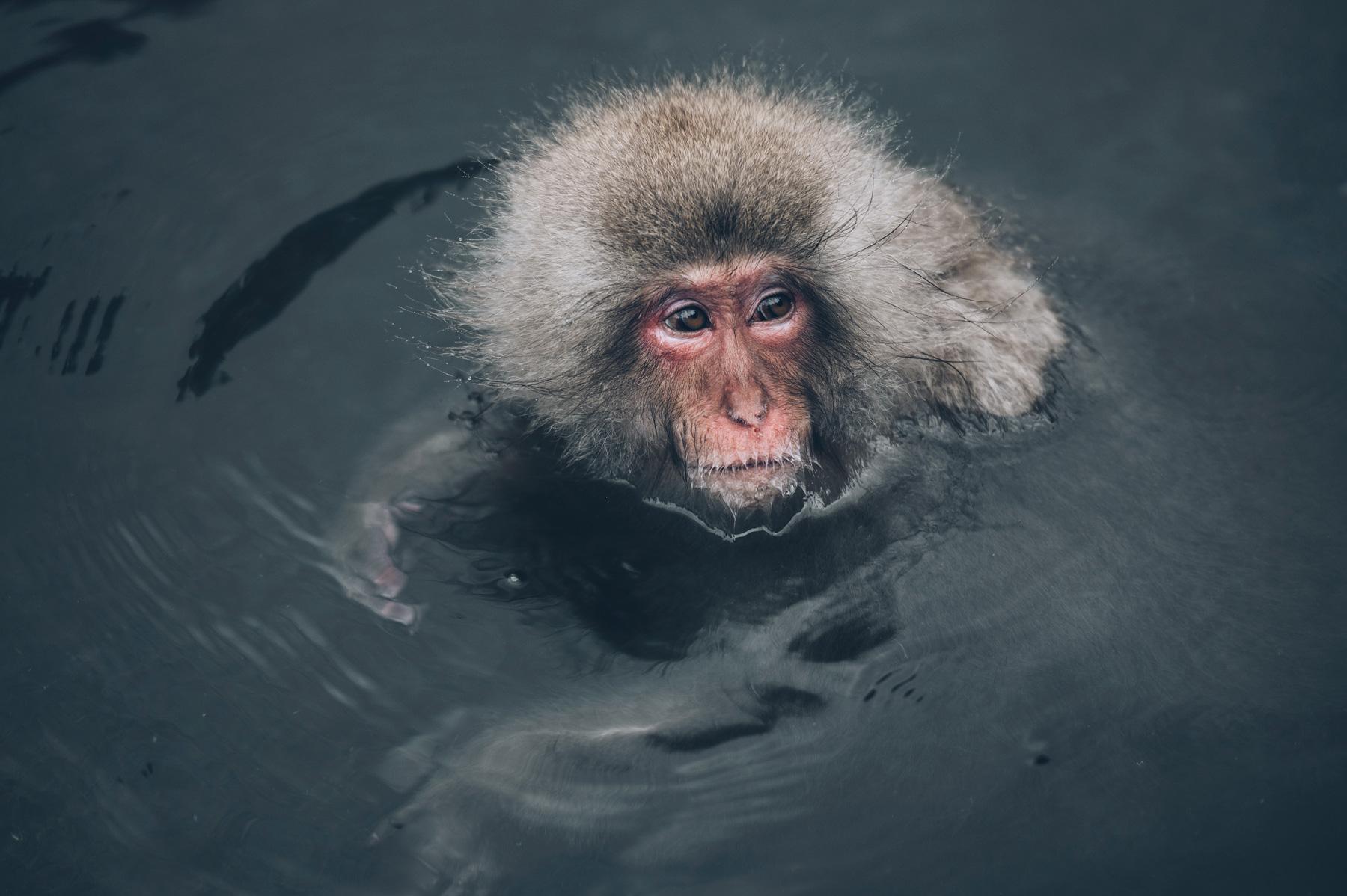 Ou voir les singes au Japon?