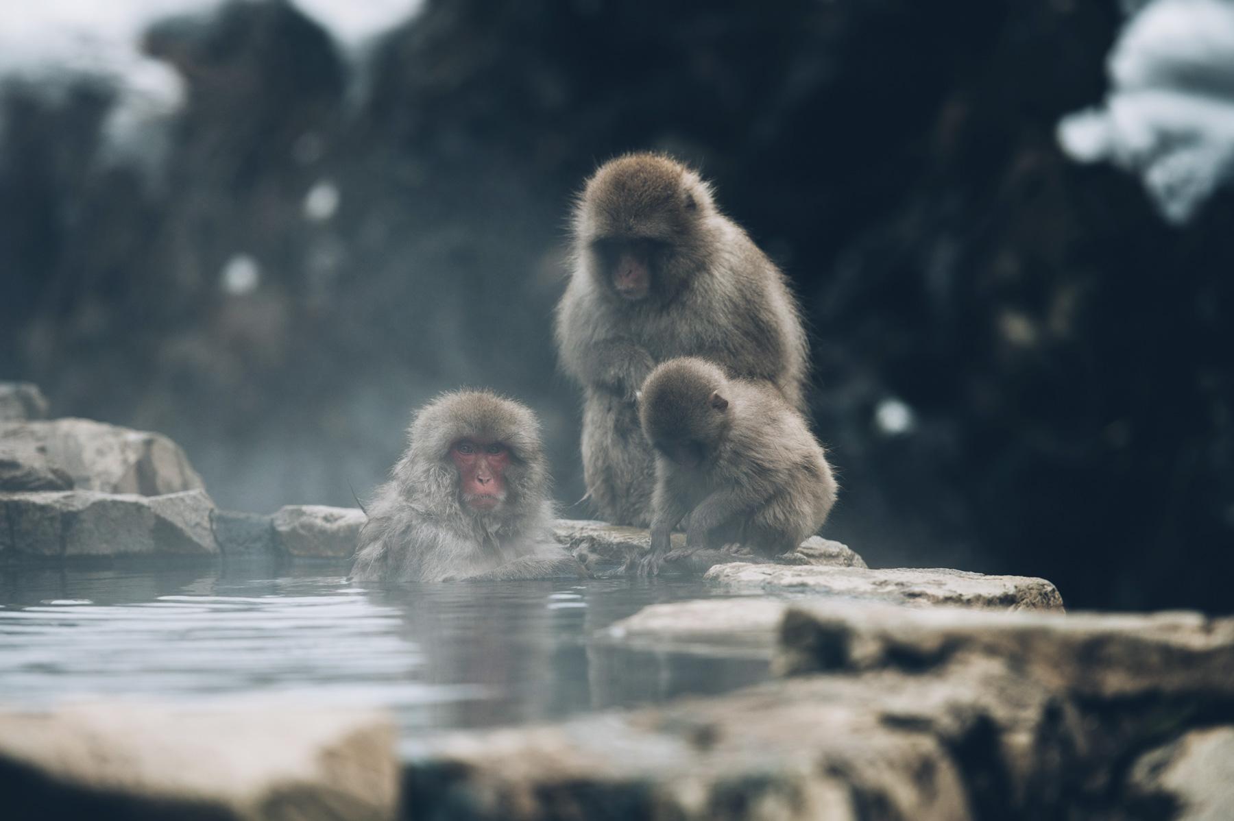 Les Singes dans les sources chaudes au Japon