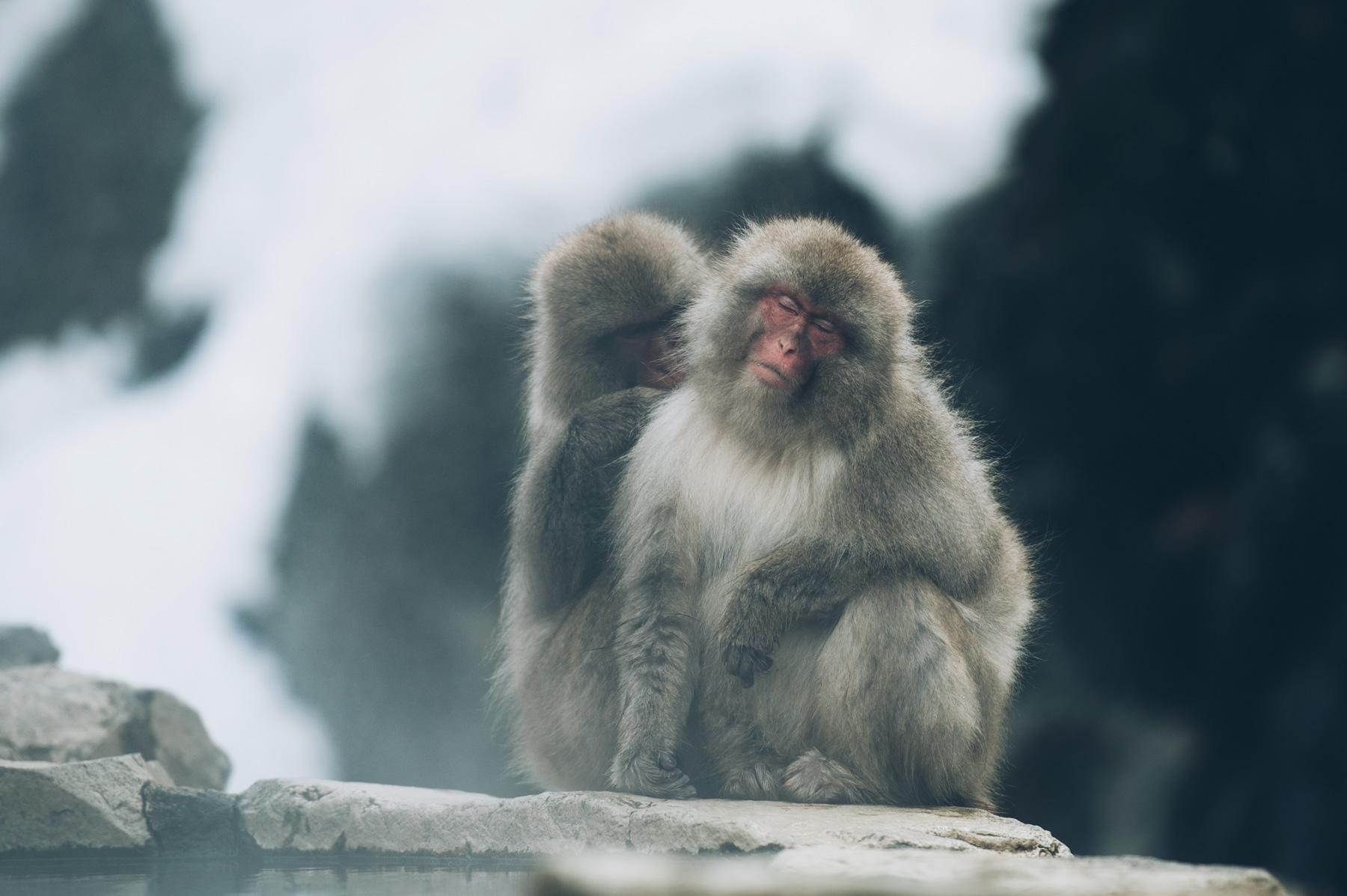 Macaques Rouges Japonais