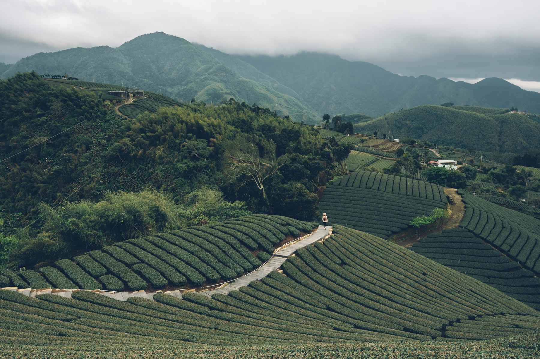 Plantation de Thé, Taiwan
