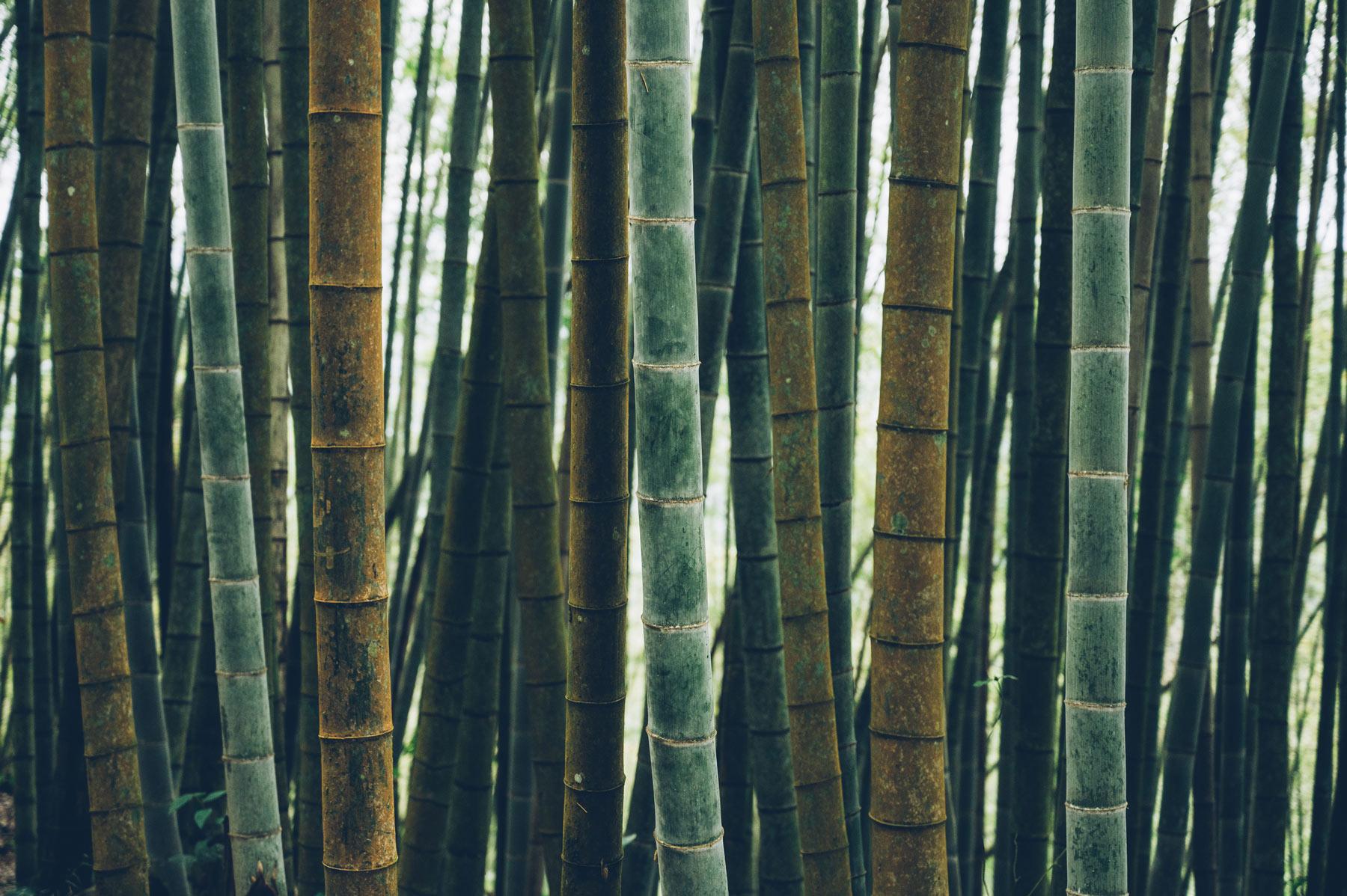 Bambou Taiwan