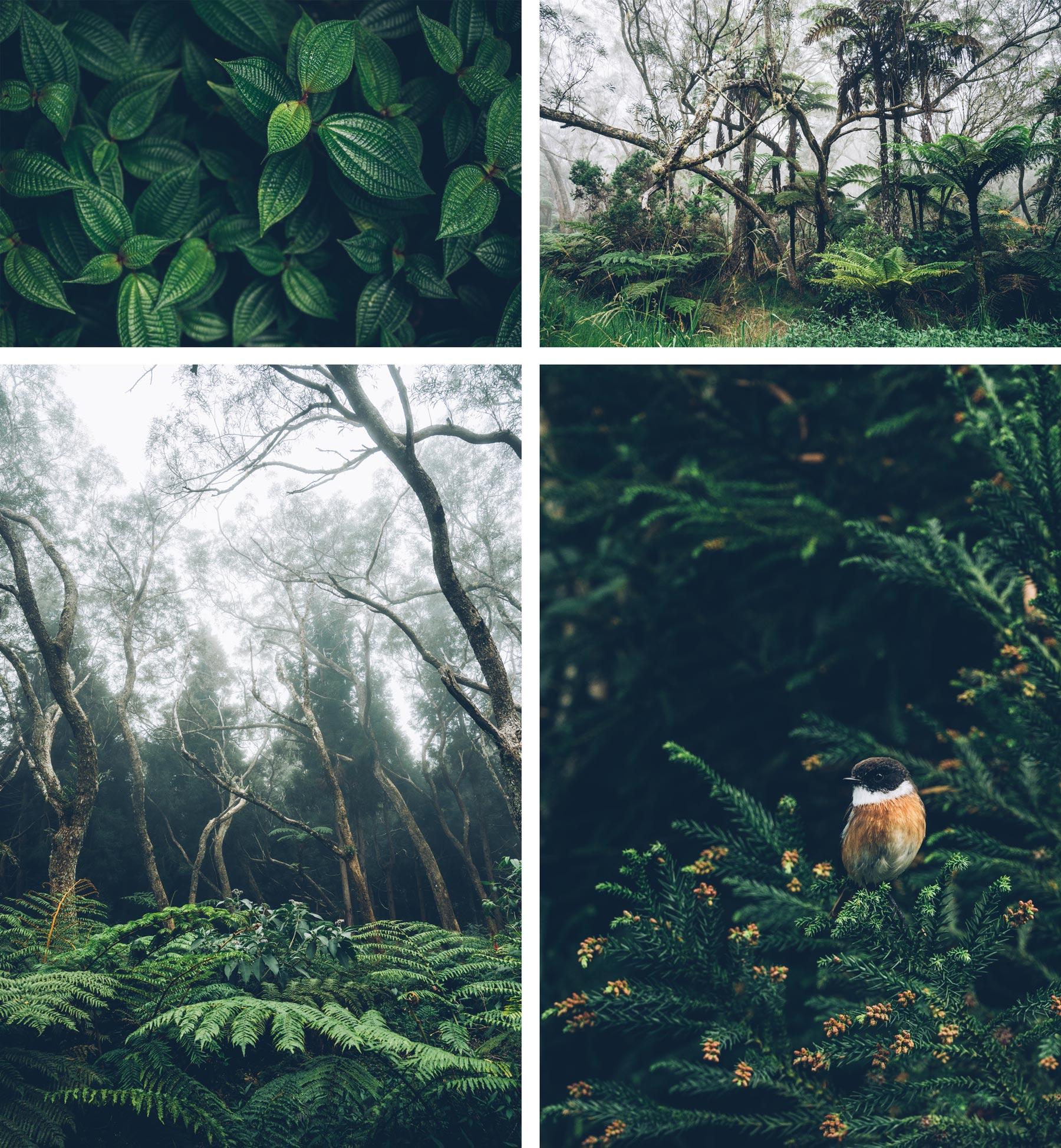 Forêt de Belouve, La Réunion