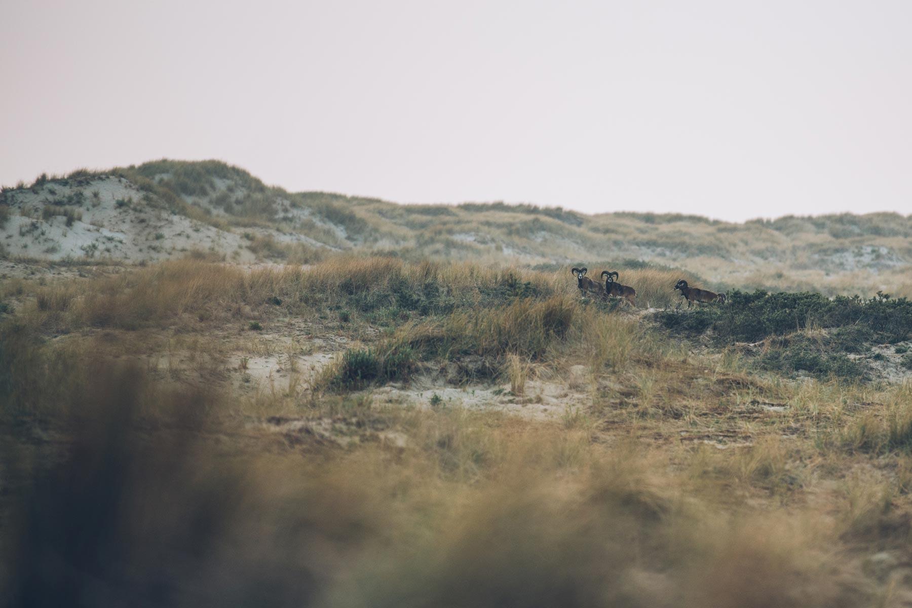 Mouflons, Marquenterre