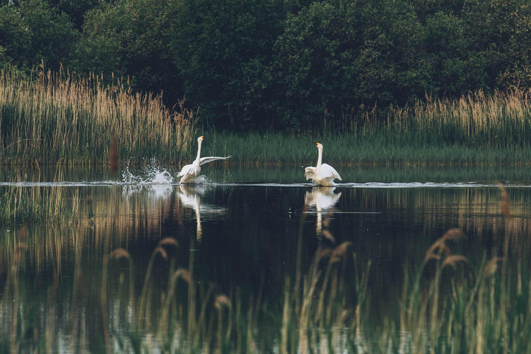 Cygnes, Parc Naturel Baie de Somme