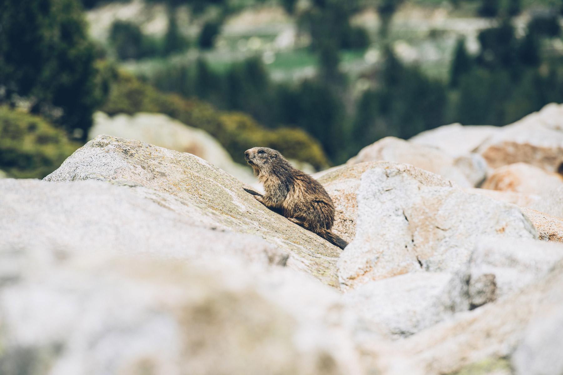 Voir les Marmottes à Andorre