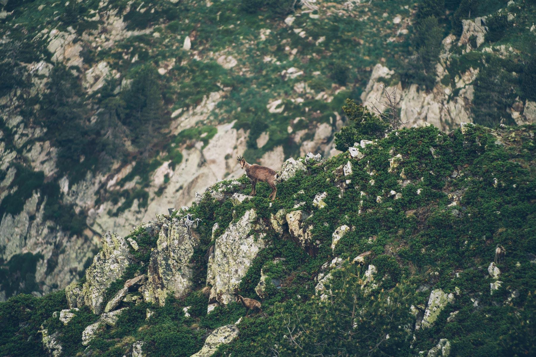 Voir les Chamois et Mouflons à Andorre