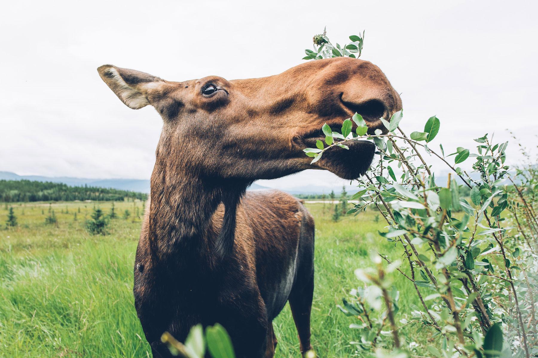Orignal, Yukon Wildlife Preserve