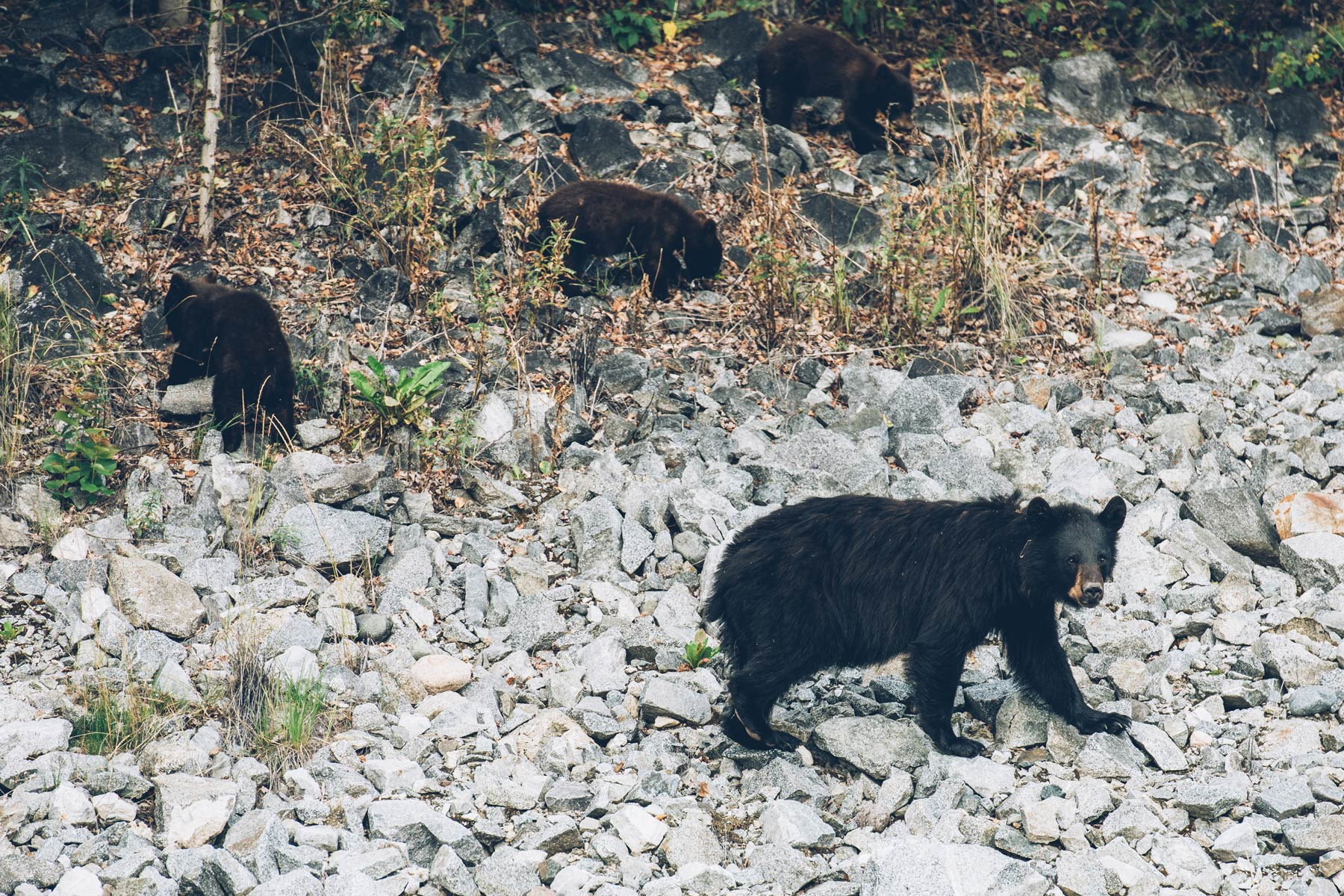 Ours Noirs, Yukon