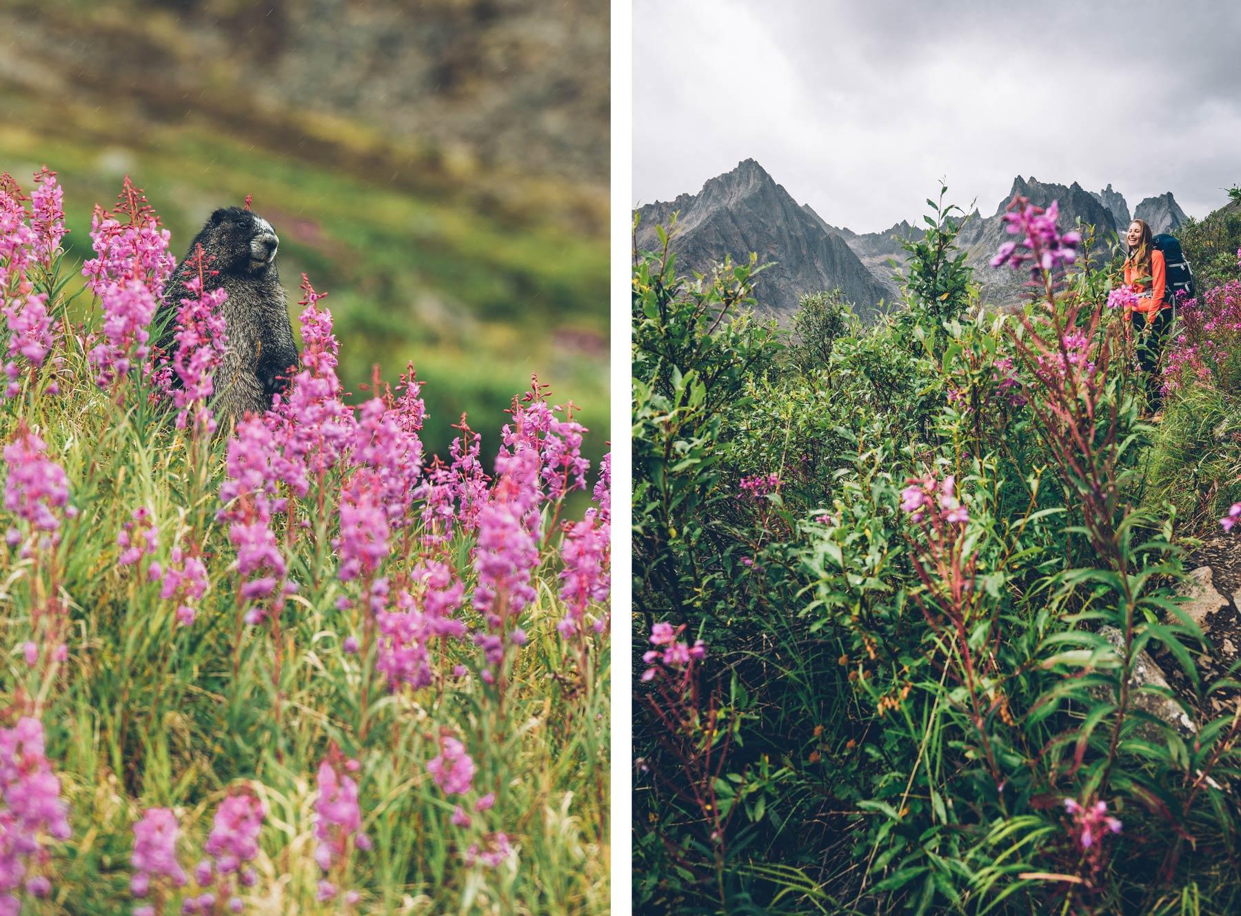 Marmottes Yukon