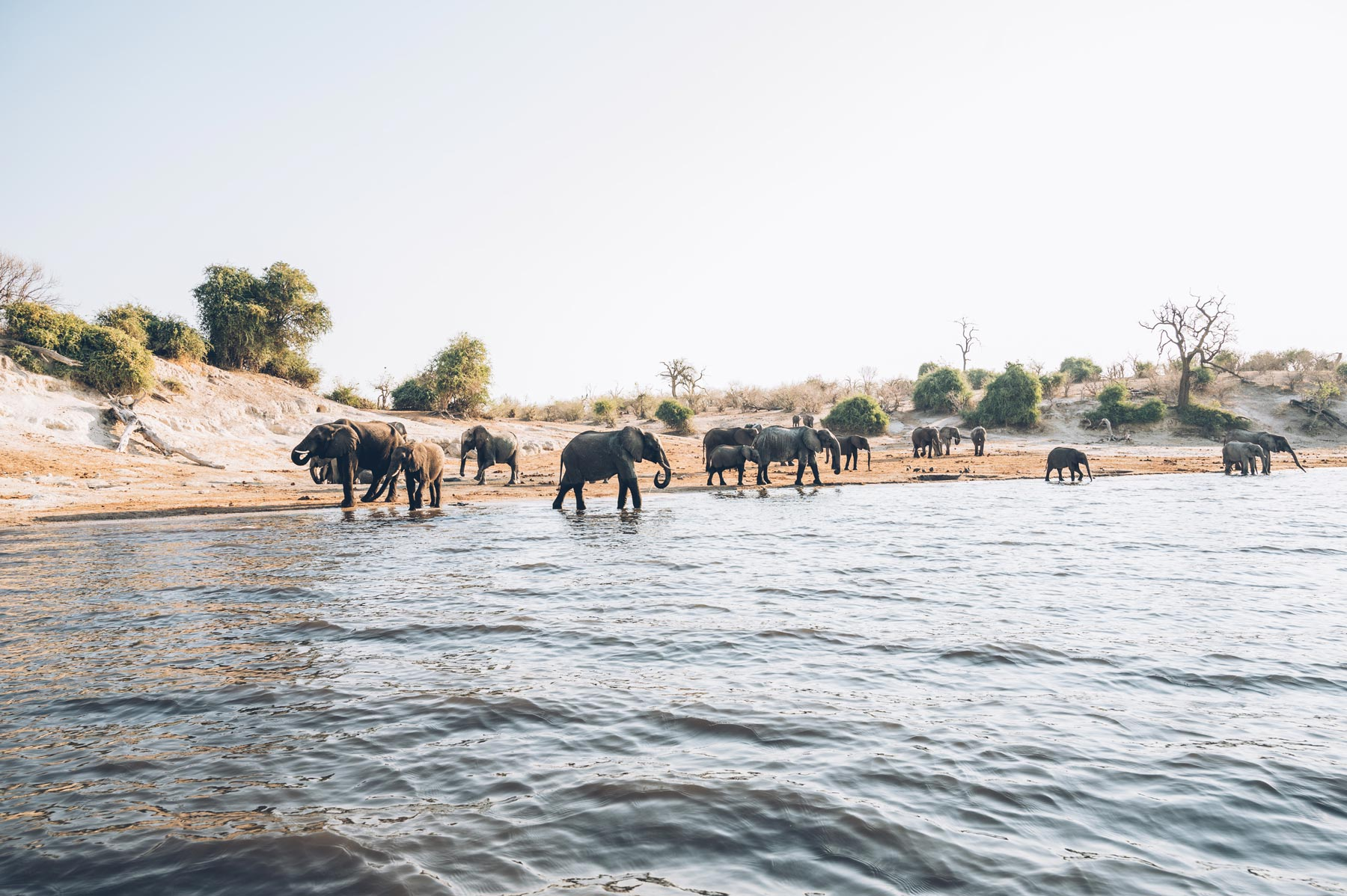 Parc National de Chobe, Les éléphants