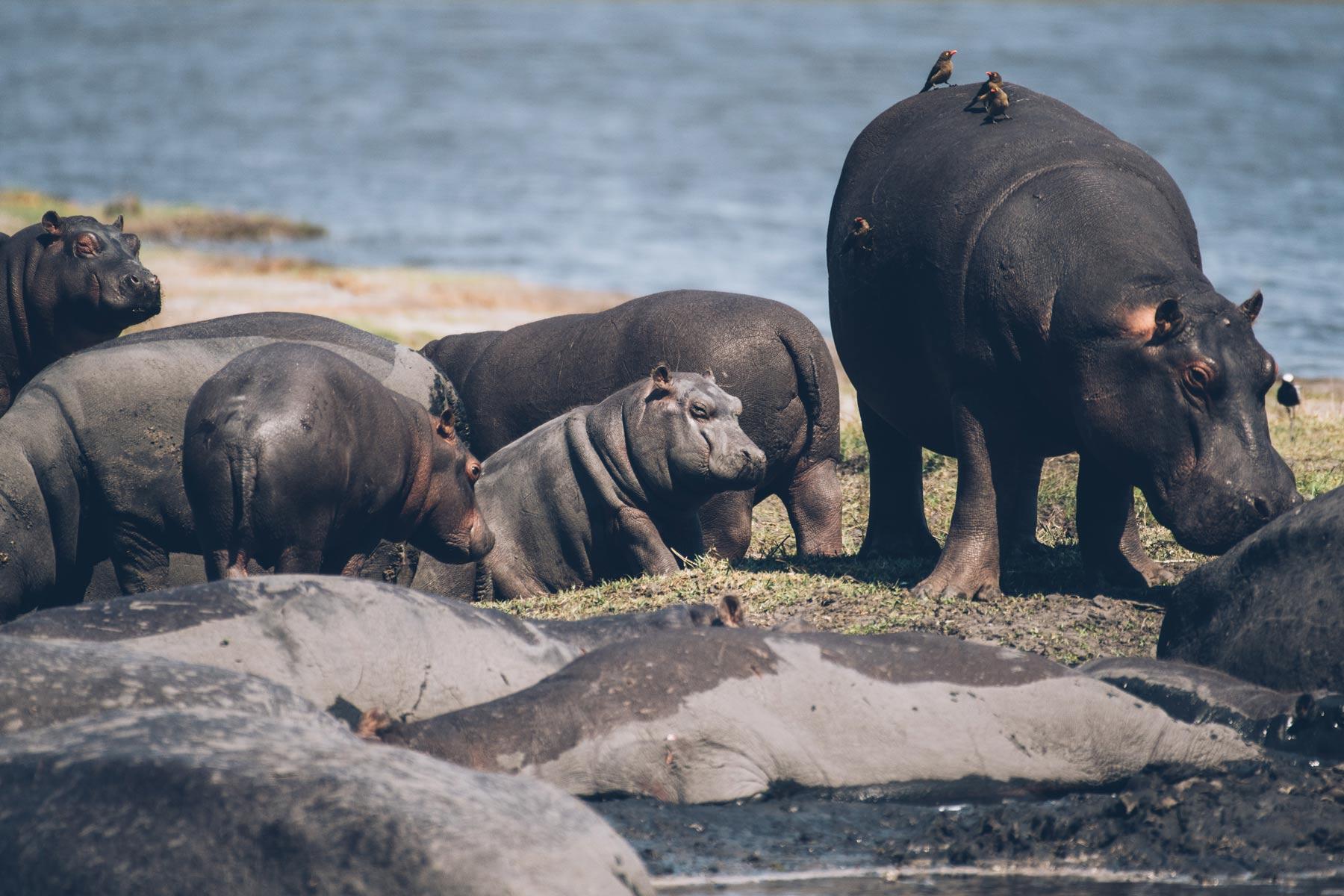 Hippopotames, Chobe National Park