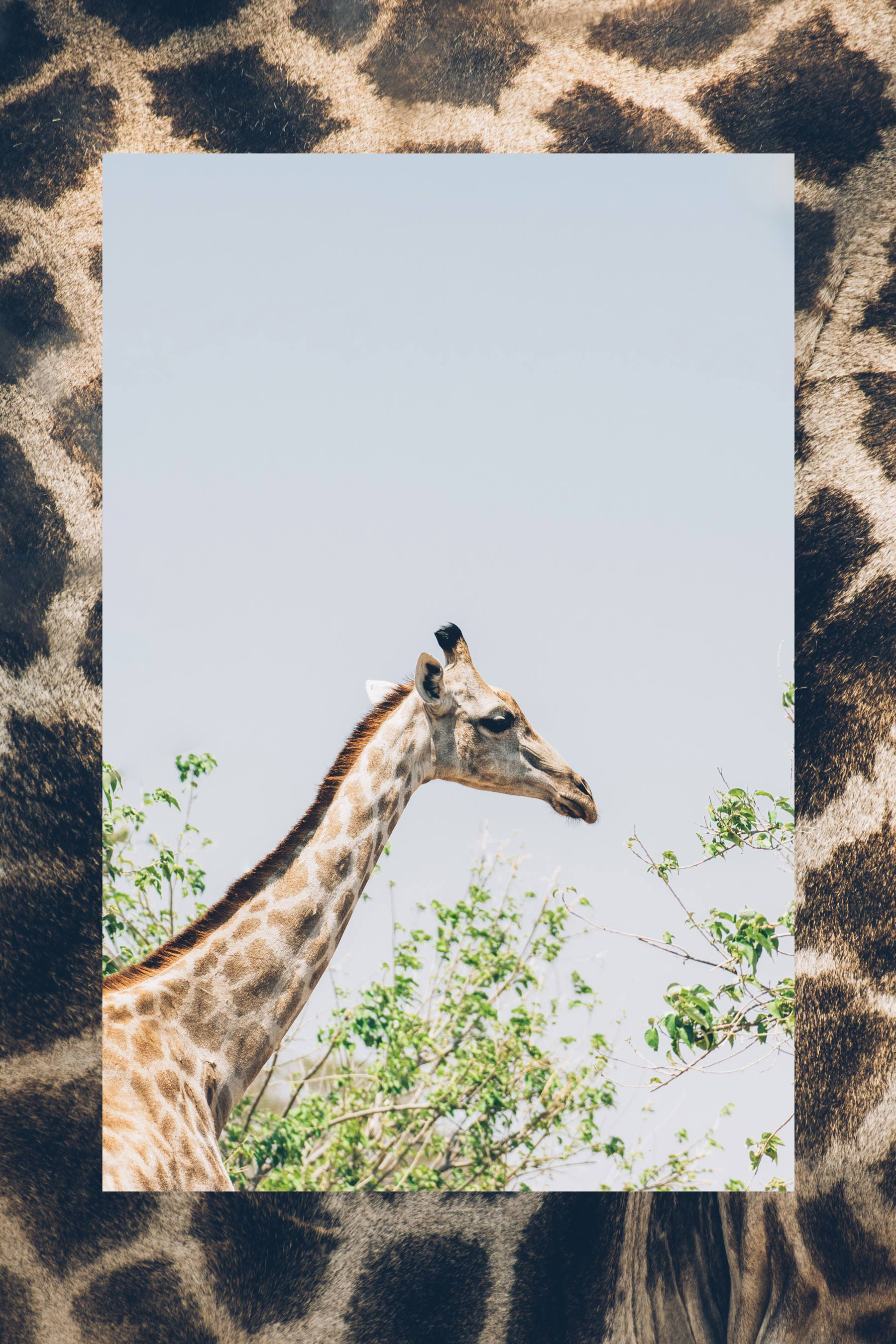 Girafe, Chobe, Botswana