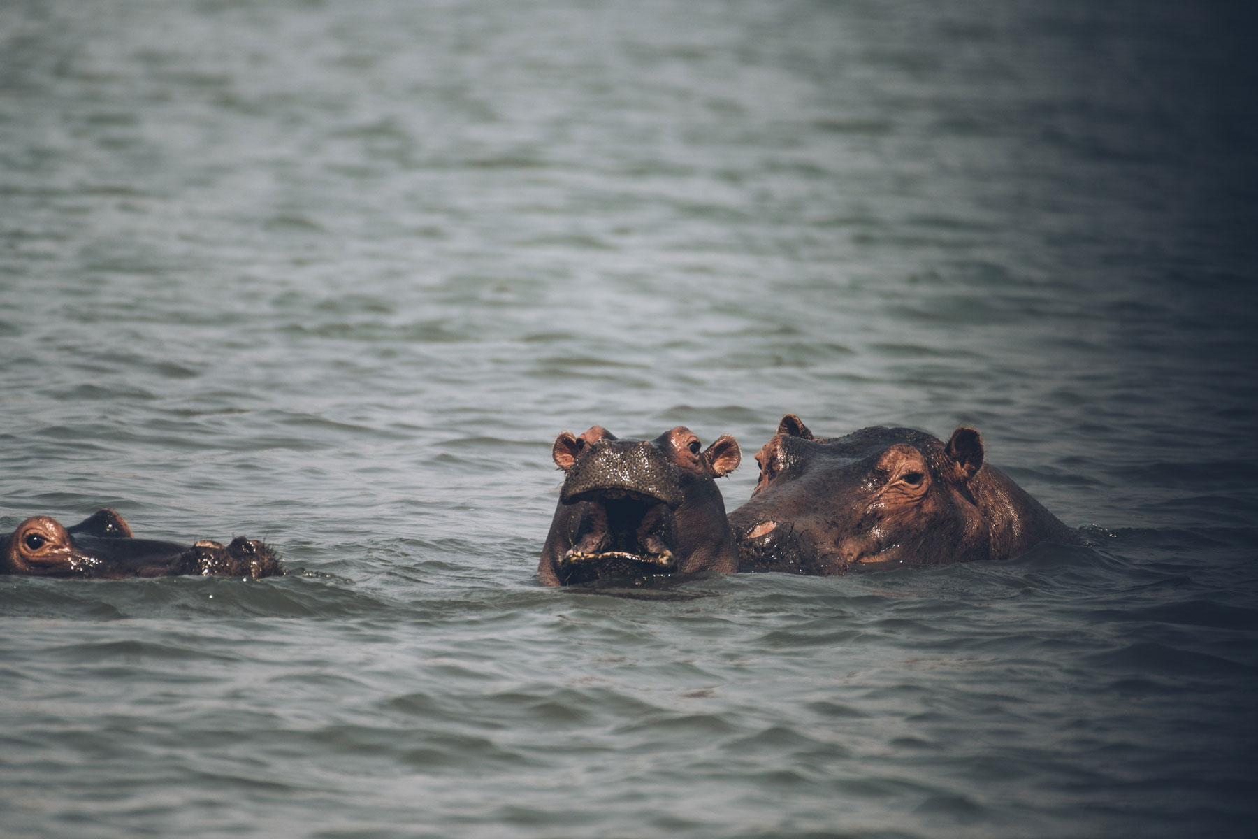Hippos, Lac Kariba, Zimbabwe