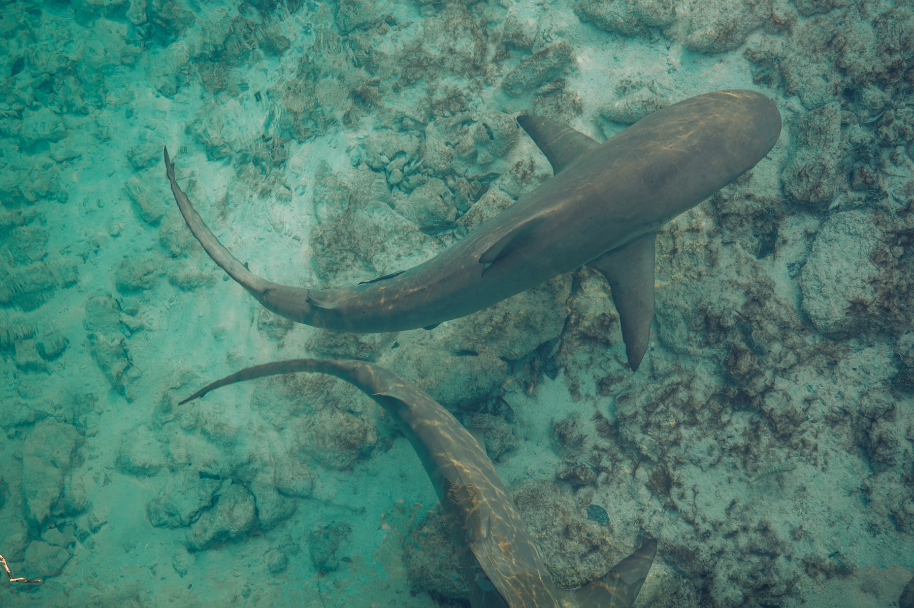 Hawks Nest Requins, Cat Island, Bahamas
