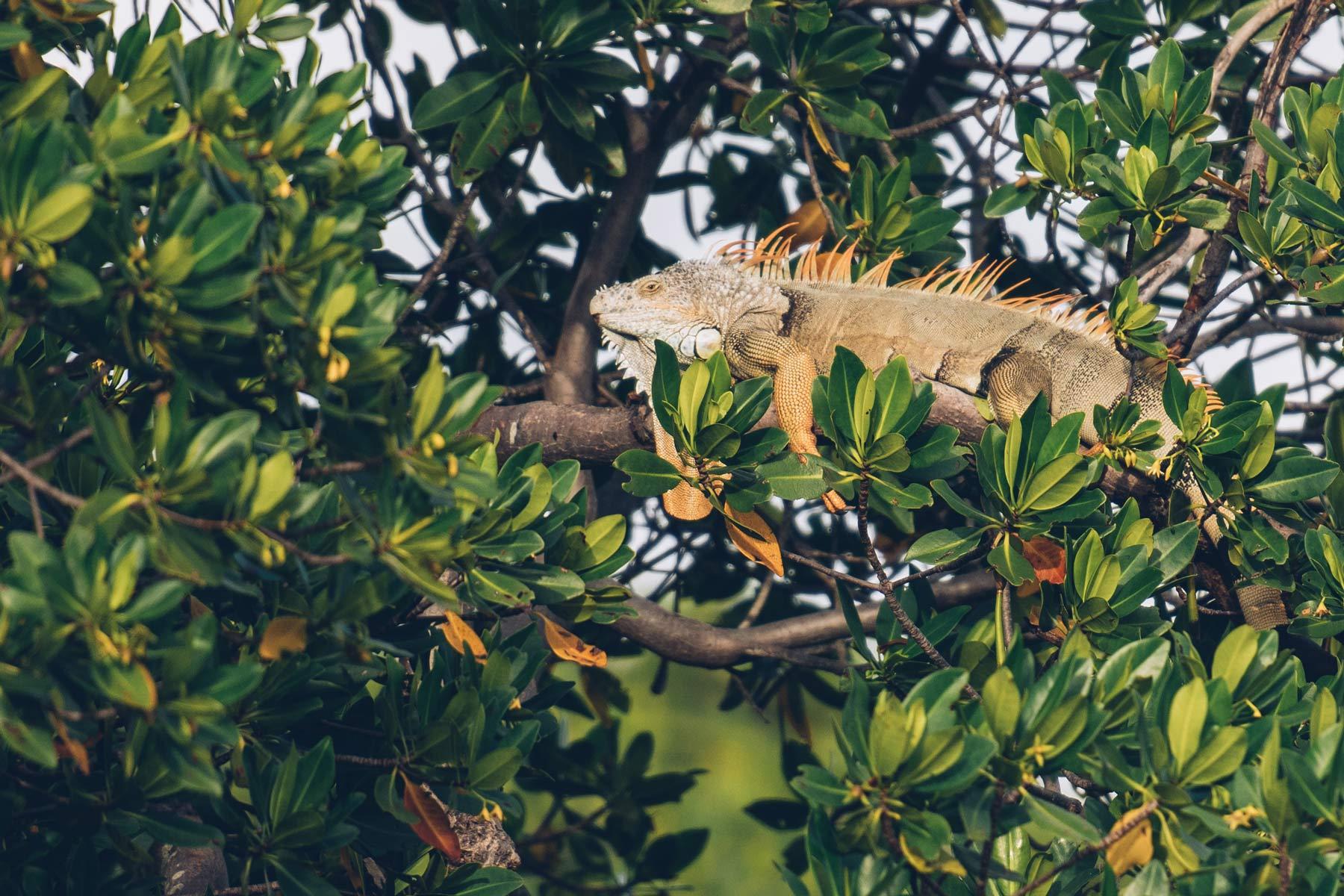 Iguane, Miami