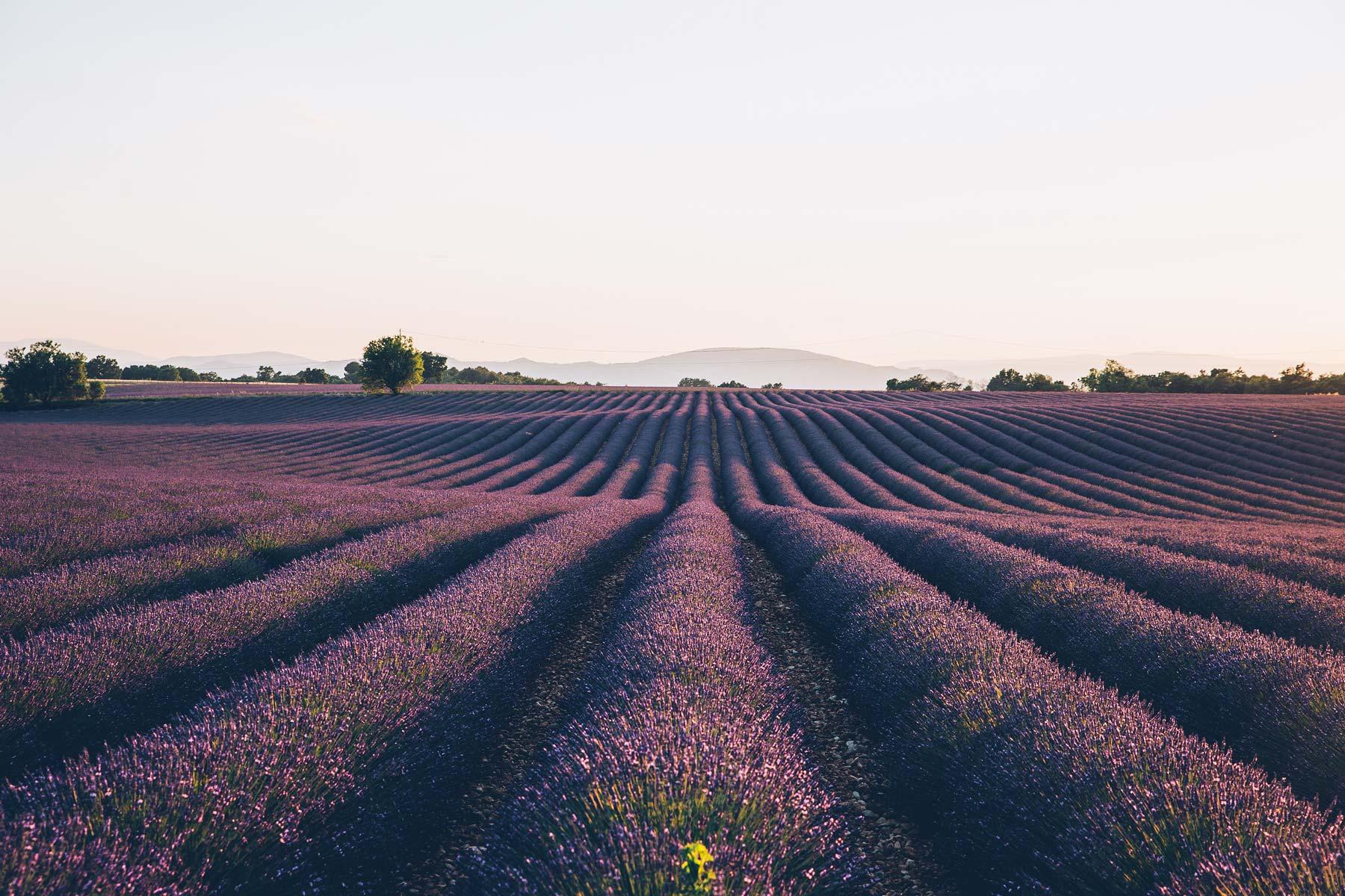 Ou voir la lavande en fleur: Valensole, Provence