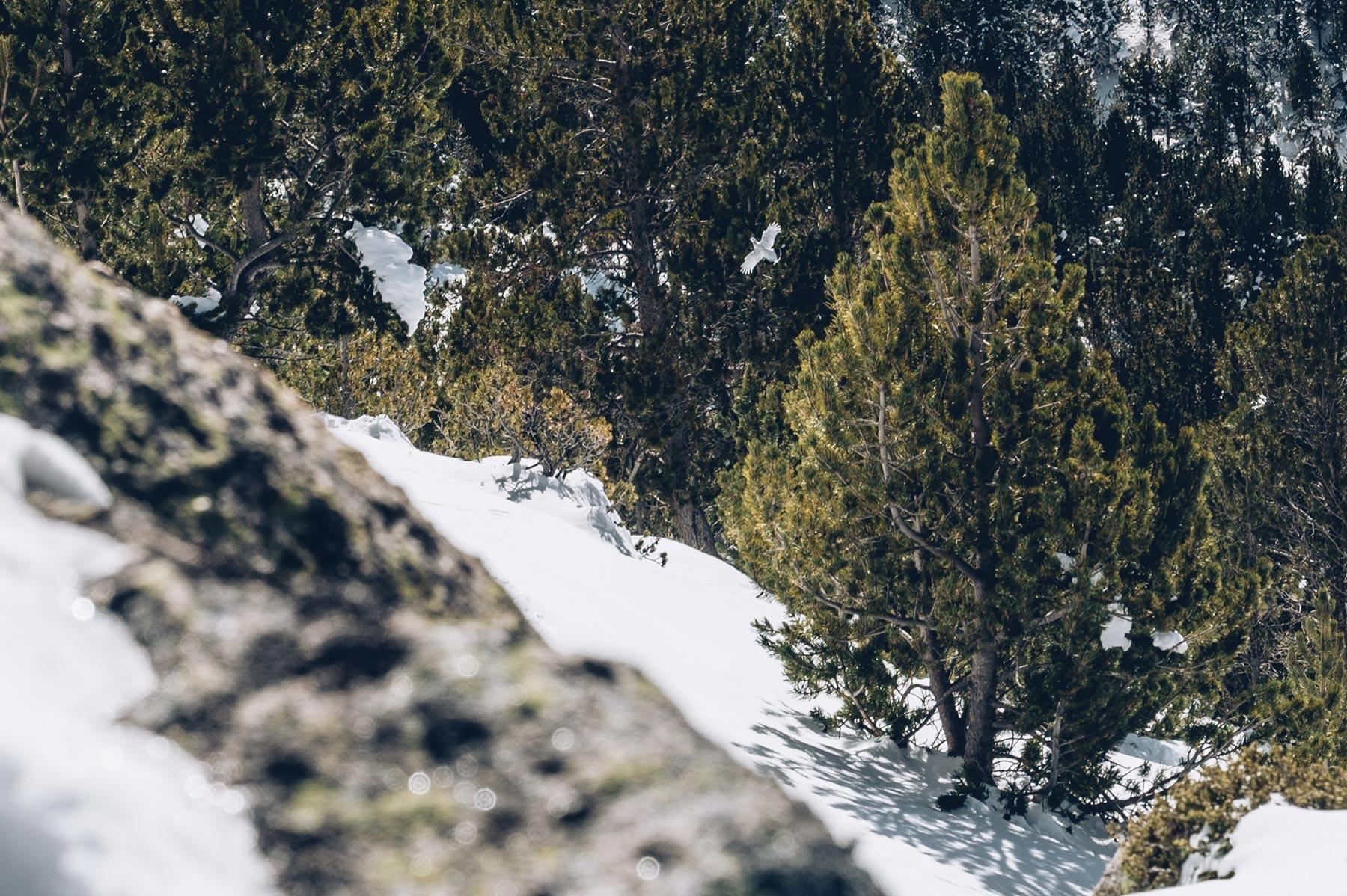 Lagopede alpin, Andorre