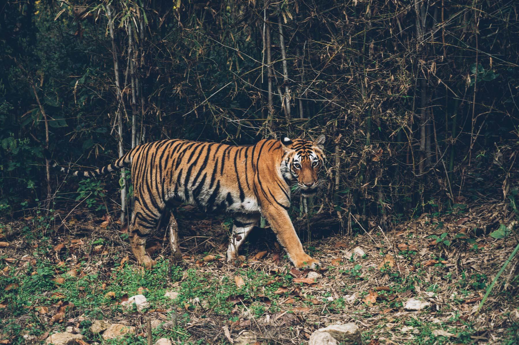 Tigre en Inde
