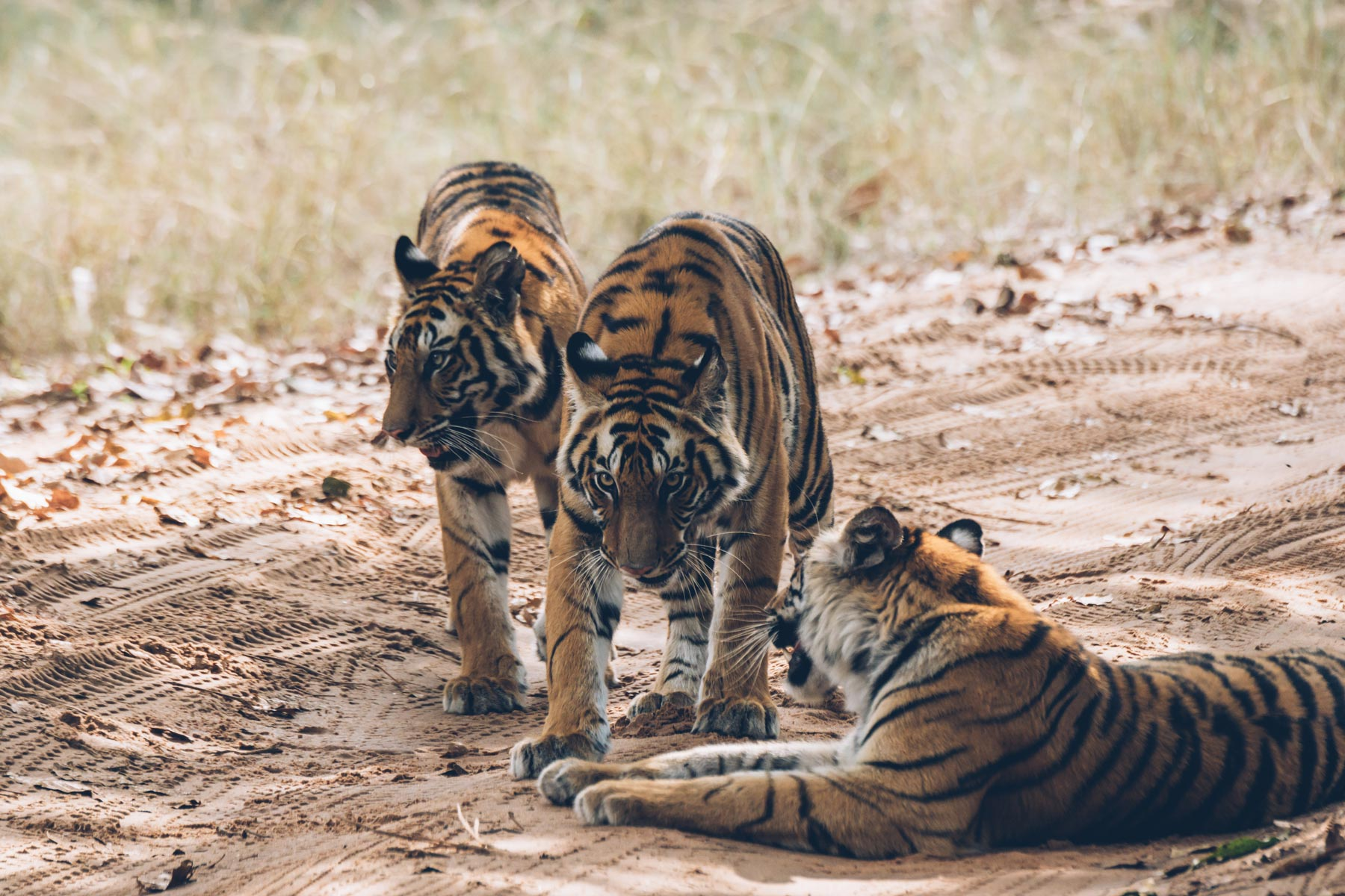 Tigres du Bengal, Inde