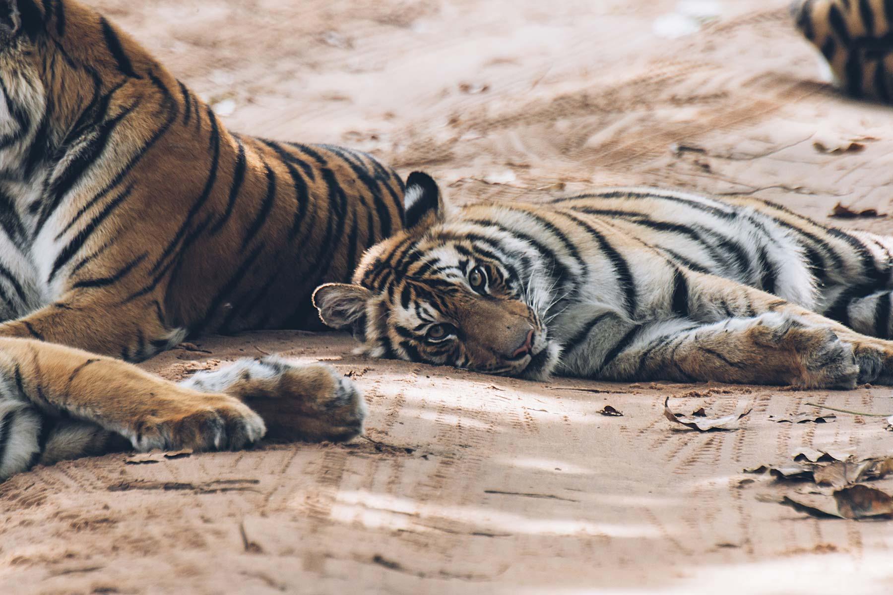 Où voir des tigres en Inde? Bandhavgarh National Park