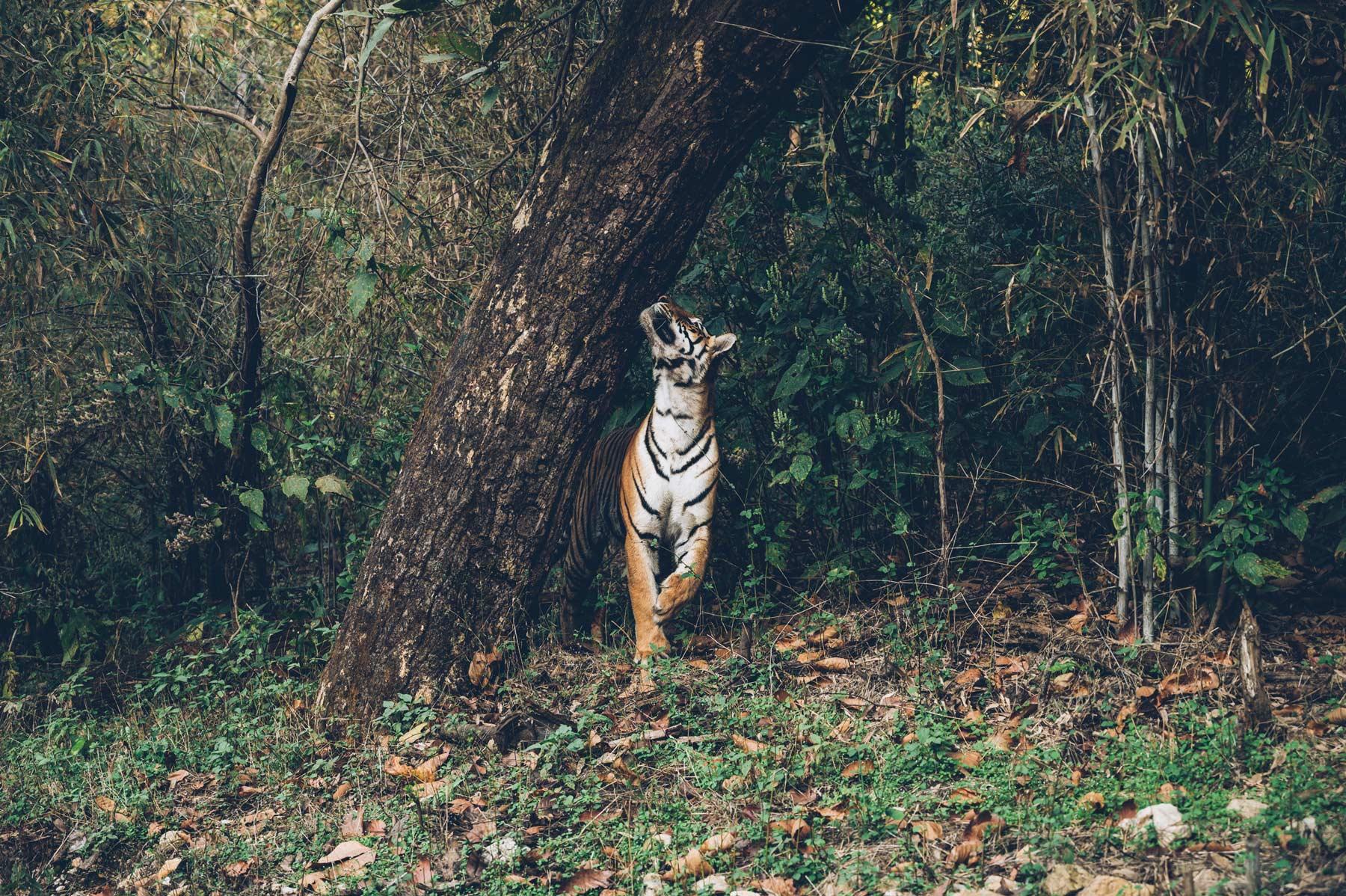 Reserve de Tigre en Inde, Kanah