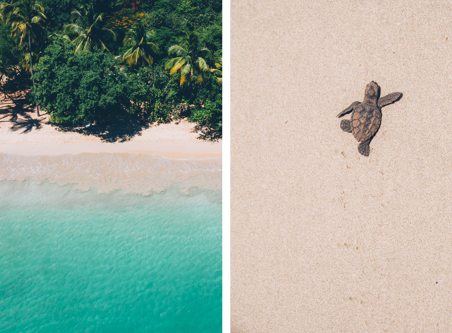 Bébé tortue, Plage des Salines, Martinique