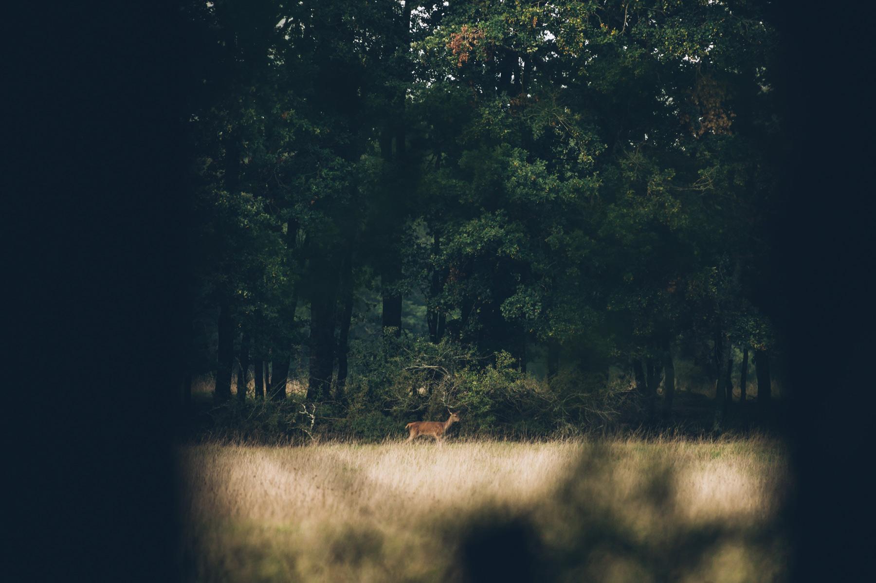 Ou voir le brame du cerf en france?
