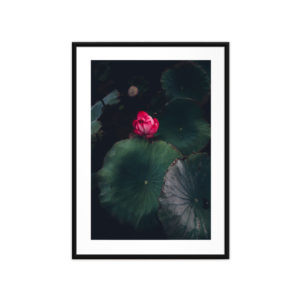 Tirage photo, Lotus Rose