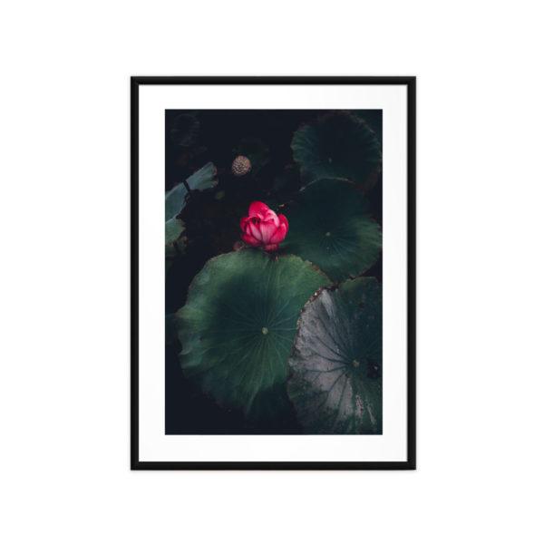 Tirage photo, Lotus Rose