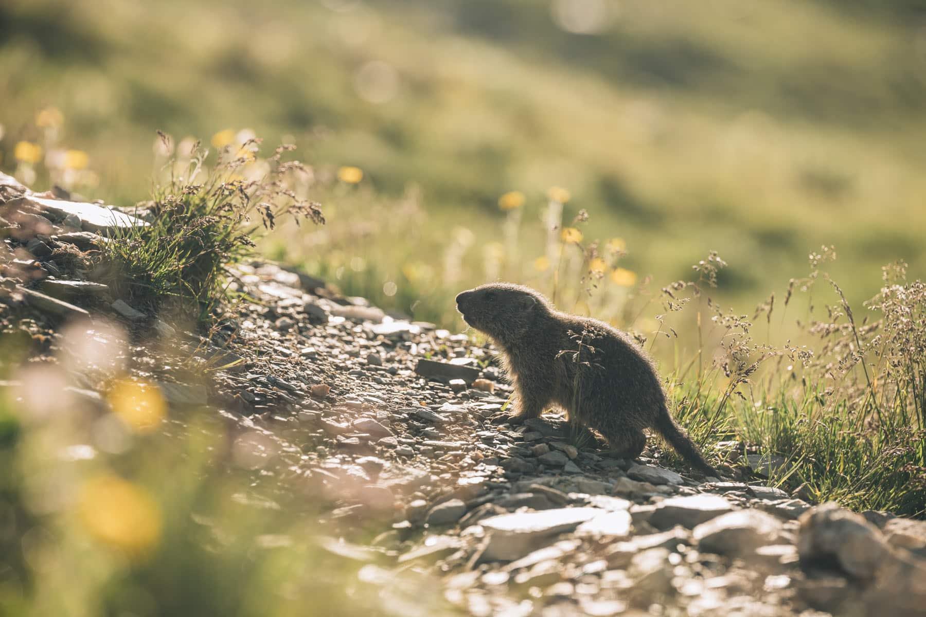 Bébé marmotte Dolomites