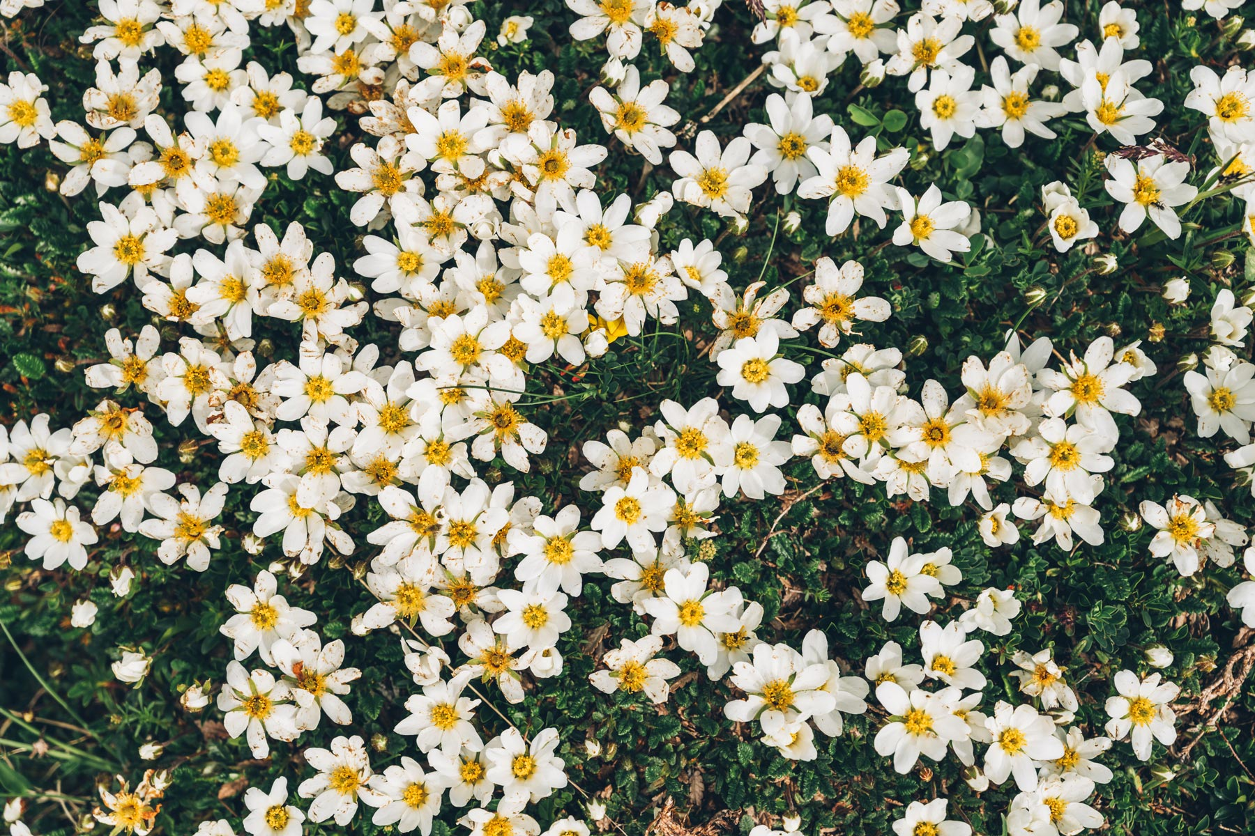 Fleurs Dolomites