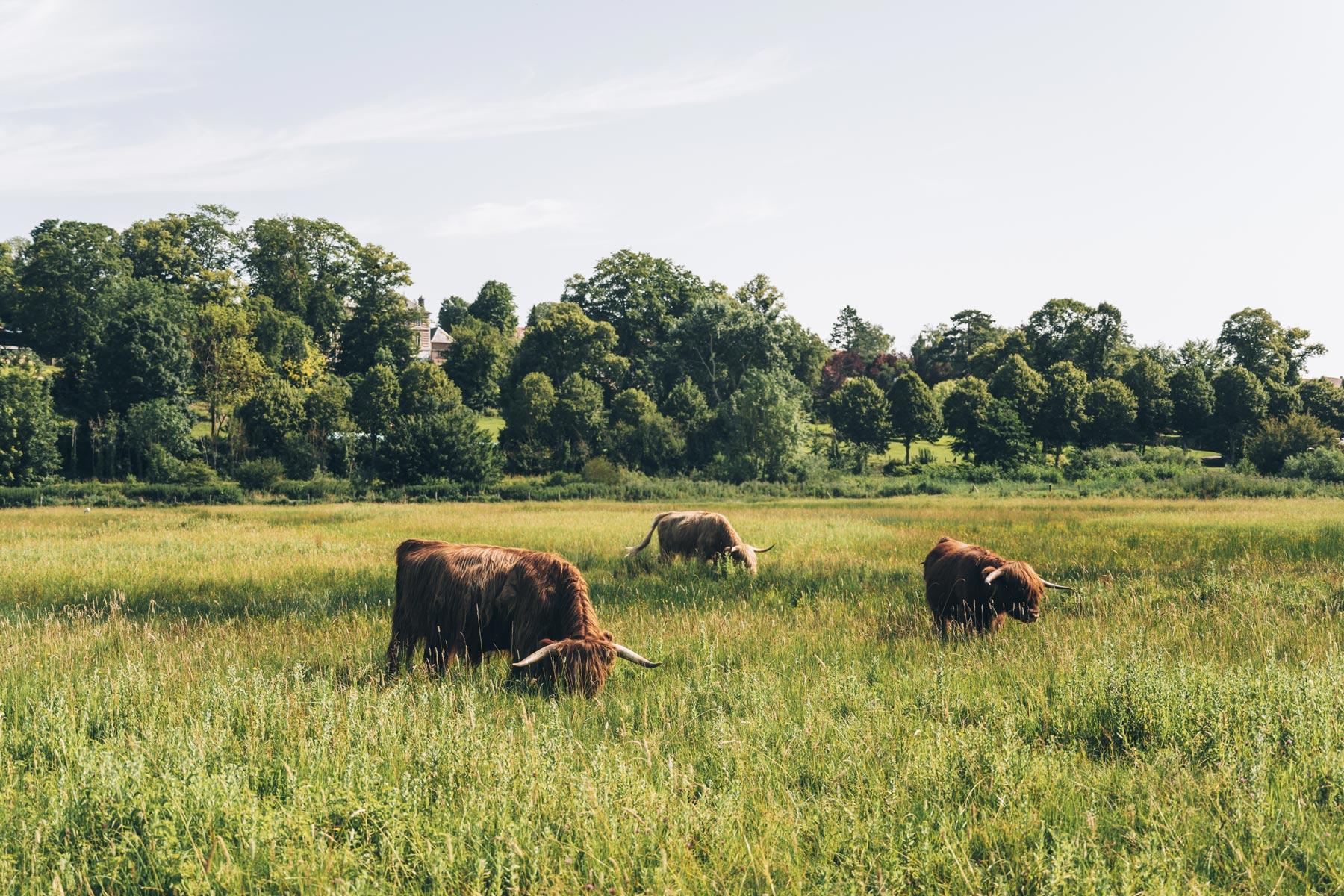 Vaches écossaises, Baie de Somme